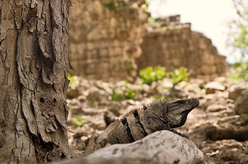 blog_IGP8705-iguana
